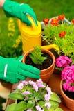 Ręki w zielonej rękawiczki roślinie kwitną w garnku Obrazy Royalty Free