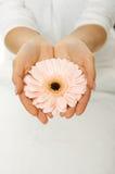Ręki z różowym gerbera Zdjęcia Royalty Free