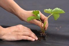 Ręki z truskawkową rozsadą obraz royalty free