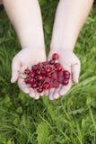 Ręki z wiśniami i malinkami Zdjęcia Royalty Free