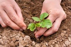 Ręki zasadza truskawkowej rozsady obraz stock