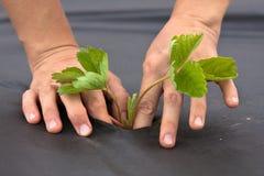 Ręki zasadza truskawkowej rozsady na czarnym chochołu materiale Zdjęcie Stock