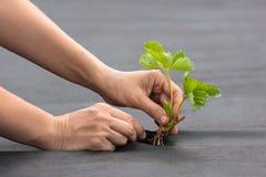 Ręki zasadza truskawkowej rozsady na spunbond fotografia royalty free