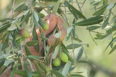Ręki zbiera oliwki od gałąź Obrazy Stock