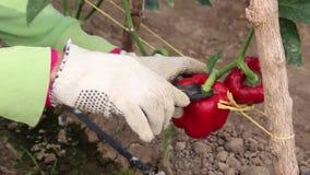 Ręki zbiera pieprzu, od rośliny używać nożyce zdjęcie wideo