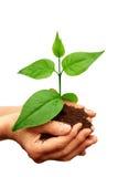 ręki zielona roślina Zdjęcia Stock