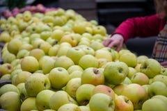 Ręki zrywania jabłka obraz stock