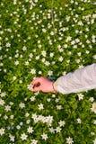 Ręki zrywania kwiaty Fotografia Royalty Free