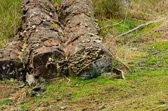 Rżnięci drzewa Fotografia Royalty Free