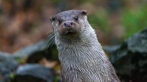 Rżnięta pionowa, pochylona trwanie wydra, patrzeje ciekawie przód zdjęcia stock