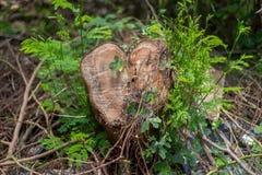 Rżnięty Drzewny serce w lesie, Zakrywającym z roślinami - & x28; Selekcyjny obraz stock
