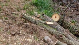 Rżnięty drzewo w lasowej, bardzo płytkiej głębii pole, Zdjęcia Stock