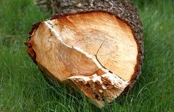 Rżnięty drzewo w lasowej, bardzo płytkiej głębii pole, Zdjęcia Royalty Free