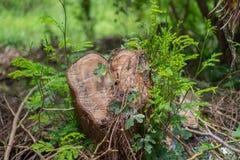 Rżnięty drzewo w lesie, Zakrywającym z roślinami zdjęcia stock