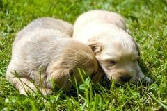Rżnięty mały szczeniak w trawie w wiośnie Zdjęcia Stock