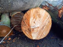 Rżnięty natury drzewo obraz stock