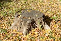 rżnięty zielony prześcieradeł fiszorka drzewo Zdjęcie Stock