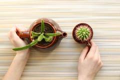 r Руки, взгляд сверху Кактус в коричневом чайнике и чашке Концепция церемонии чая творческо стоковые изображения rf