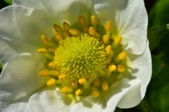 r Δασικό άσπρο λουλούδι r οφθαλμός λουλουδιών στοκ φωτογραφία με δικαίωμα ελεύθερης χρήσης