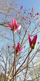 r Οφθαλμοί λουλουδιών Magnolia ενάντια στα δέντρα μπλε ουρανού και άνοιξη στοκ εικόνες με δικαίωμα ελεύθερης χρήσης
