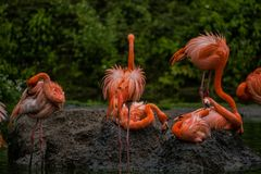 16 05 2019 r Зоопарк Tiagarden Дикая серая гусыня с ярким розовым клювом идет на луг около пруда стоковое изображение rf