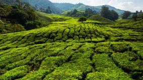 r Красивый ландшафт на плантации чая сток-видео