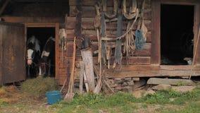r Лошади в конюшне Красивые лошади ждать траву, овес 2 лошади принимая остатки в старой деревянной конюшне видеоматериал