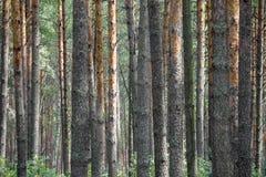 r Место для того чтобы ввести текст E Сосновый лес стоковая фотография rf