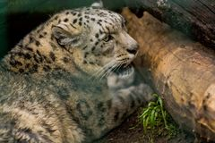 16 05 2019? r 动物园Tiagarden 雪豹在绿色和咆哮声中说谎 野猫和动物 免版税库存图片