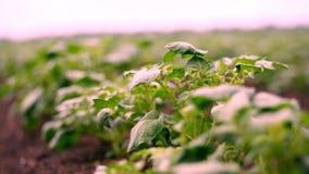 r 土豆种植园 土豆年轻绿色新芽行,年轻土豆灌木在农田增长 股票视频
