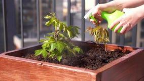 r 在一个箱子的增长的少女葡萄在一个大阳台在城市 股票录像