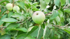 r 在树枝的绿色苹果 影视素材