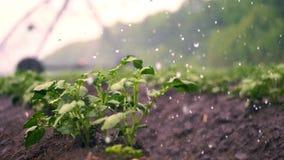r 小绿色土豆灌木在土壤增长,在行,在农业领域,灌溉由一个特别浇灌的枢轴 股票录像