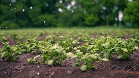 r 小绿色potatoe灌木在土壤增长,在行,在农业领域,灌溉由一个特别浇灌的枢轴 影视素材