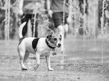 r ?? 2019年6月19日 沐浴在一个城市喷泉的一朵刷新的浪花的狗在一个热的夏日 热的2019年6月 免版税库存图片