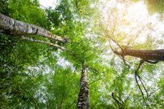 r 春天发光通过高大的树木森林机盖的太阳  阳光在森林,夏天自然里 图库摄影
