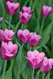 r 春天开花与在庭院领域的绿色茎的桃红色郁金香出于焦点背景 概念图象季节 免版税库存照片