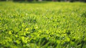 r 水多的绿色年轻被整理的草在阳光下,明亮的新背景,纹理 免版税图库摄影