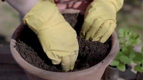r 种植在罐的植物罐的过程 绿色幼木在准备的土壤,夏天种田被种植 影视素材