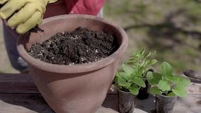 r 种植在罐的植物罐的过程 绿色幼木在准备的土壤,夏天种田被种植 股票视频