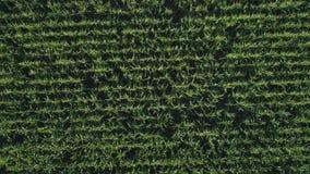 r 飞行在一块金黄麦地在美丽的农田里 r 影视素材