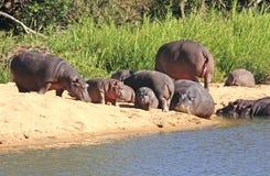 野生非洲河马 免版税库存图片