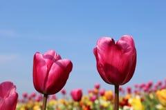 R??ani tulipany w Keukenhof obraz royalty free