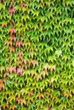räknad murgrönavägg Arkivfoton