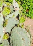 R Cactusblad Royalty-vrije Stock Afbeelding