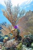 R?cif coralien outre de la c?te de Raotan Honduras photos stock