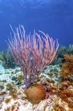 R?cif coralien outre de la c?te de Raotan Honduras image stock