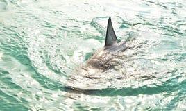 R?ckenflosse des Wei?en Hais, welche die Oberfl?che durchbricht lizenzfreies stockbild