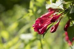 R?d blomma av weigelaen royaltyfri fotografi