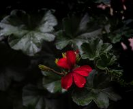R?d blomma med blad royaltyfria foton